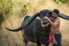 Landbouwer met buffels Stock Afbeeldingen