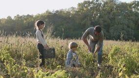 Landbouwer met kinderen die organische bataat op het gebied van ecolandbouwbedrijf oogsten stock footage