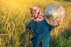 Landbouwer met rijstoogst Royalty-vrije Stock Fotografie