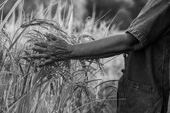 Landbouwer met rijstoogst Stock Foto's