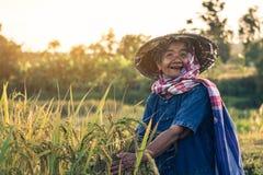 Landbouwer met rijstoogst Royalty-vrije Stock Afbeelding