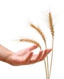 Landbouwer met tarwe stock foto