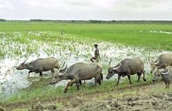Landbouwer met waterbuffels op zijn manier aan croplands Royalty-vrije Stock Fotografie