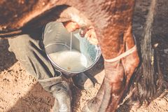 Landbouwer Milking een koe met de hand, Canavieiras, Bahia, Brazilië stock afbeelding