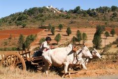 Landbouwer op een blokkenwagen door koeien in het platteland van Pindaya wordt getrokken die Royalty-vrije Stock Foto