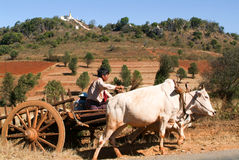 Landbouwer op een blokkenwagen door koeien in het platteland van Pindaya wordt getrokken die Stock Foto