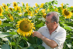 Landbouwer op een gebied van de zonbloem Stock Foto