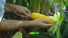 Landbouwer op Gecultiveerd landbouwgraangebied die jonge maïskolf onderzoeken vóór het oogstseizoen stock video
