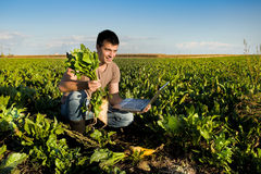 Landbouwer op suikerbietgebied Stock Foto's