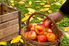 Landbouwer Picks Red Apples Stock Foto