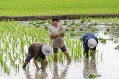 Landbouwer ricefield Stock Fotografie