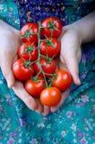 Landbouwer Showing Organic Tomatoes Gezond voedselconcept royalty-vrije stock foto's