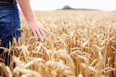 Landbouwer Walking Through Field die Tarwegewas controleren Stock Foto