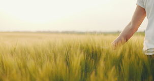 Landbouwer wat betreft tarwe Het oogsten Concept stock footage