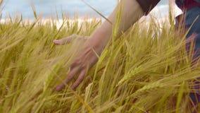 Landbouwer wat betreft tarwe op gebied, organische gewassen, landbouwarbeid, landelijk landschap stock footage