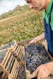 Landbouwer Working In Vineyard Stock Foto