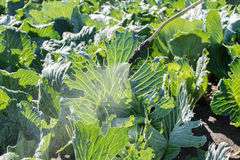 Landbouwers bespuitend pesticide Royalty-vrije Stock Afbeelding