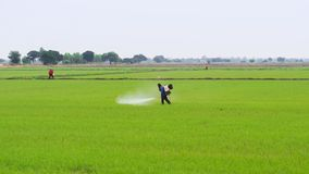 Landbouwers bespuitende pesticiden op padieveld Royalty-vrije Stock Foto's