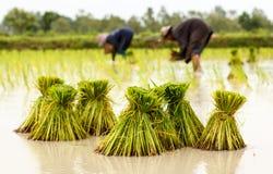 Landbouwers in de traditionele Thaise de rijstgroei van Thailand stock afbeeldingen