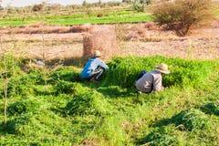 Landbouwers die aan de gebieden in Dakhla werken Stock Foto's