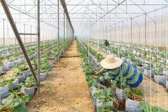Landbouwers die aan organische landbouwbedrijven werken Meloenzaailingen of kantaloep stock foto's