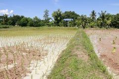Landbouwers die bij padievelden werken Stock Fotografie