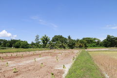 Landbouwers die bij padievelden werken Stock Afbeelding
