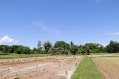Landbouwers die bij padievelden werken Stock Foto