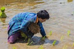 Landbouwers - die de landbouw van Thailand begon reeds op het gebied, met weelderige rijstlandbouwers wordt gevuld met rijstzaail Stock Afbeeldingen