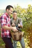Landbouwers die druiven in een wijngaard oogsten stock foto's