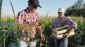 Landbouwers die graan oogsten bij gebied van organisch ecolandbouwbedrijf stock videobeelden