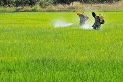 2 landbouwers die insecticide in het padieveld bespuiten Stock Foto's