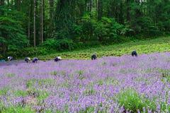 Landbouwers die lavendel op het gebied oogsten stock afbeelding