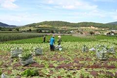 Landbouwers die mosterd oogsten greenn Royalty-vrije Stock Foto