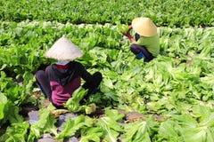 Landbouwers die mosterd oogsten greenn Stock Afbeelding