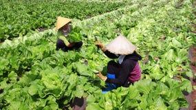 Landbouwers die mosterd oogsten greenn Stock Foto's
