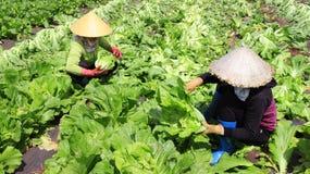 Landbouwers die mosterd oogsten greenn Royalty-vrije Stock Foto's