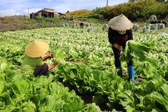 Landbouwers die mosterd oogsten greenn Stock Foto