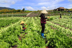 Landbouwers die mosterd oogsten greenn Royalty-vrije Stock Fotografie