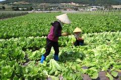 Landbouwers die mosterd oogsten greenn Stock Afbeeldingen