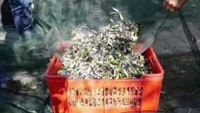 Landbouwers die olijven van oogsten gieten netto aan plastic doos Olijfolieproductie, oogst in de herfst Taggiascacultivar, Ligur stock footage