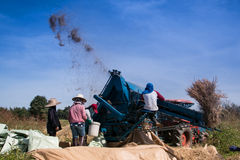 Landbouwers die rijst dorsen Stock Foto's