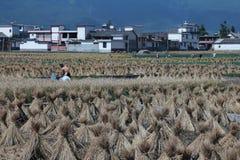Landbouwers die rijst in landelijk China oogsten Stock Afbeeldingen
