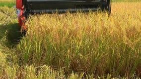 Landbouwers die rijst op de gebieden oogsten door machine stock video