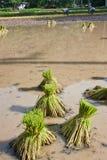 Landbouwers die rijst planten. Stock Foto