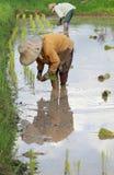 Landbouwers die rijst planten Stock Foto's