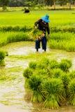 Landbouwers die rijstzaailingen voorbereiden royalty-vrije stock afbeelding