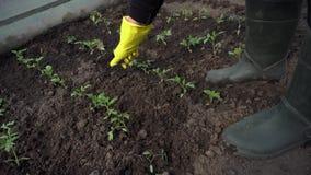 Landbouwers losmakende grond onder tomatenzaailingen in de lenteserre Landbouw stock video