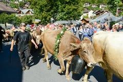Landbouwers met een kudde van koeien op jaarlijkse transhumance in Engelb Royalty-vrije Stock Fotografie
