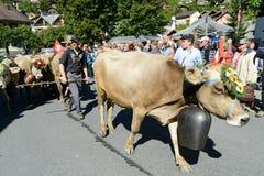 Landbouwers met een kudde van koeien op jaarlijkse transhumance in Engelb Royalty-vrije Stock Afbeeldingen